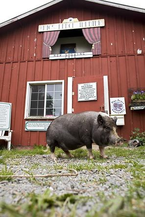 Pacific Nw Judy Woods Gives Pigs A Place To Call Their