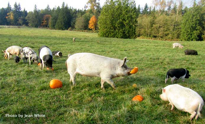 Eatting pumpkins in the pasture